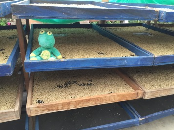 Frog Q on Raised Beds At Finca Pedreros